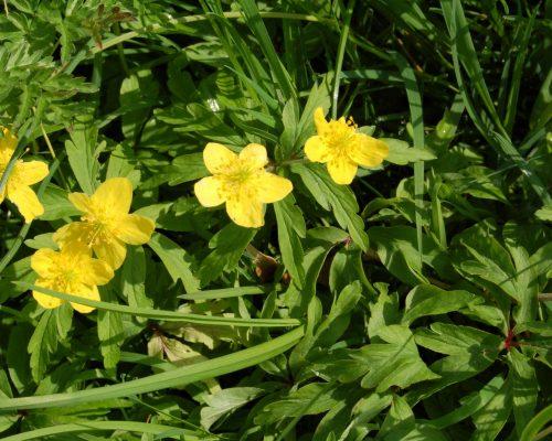 Gele anemoon, foto H. Pols.JPG